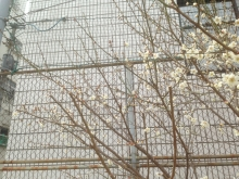 20150306桜♪