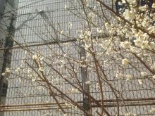 20150311桜♪