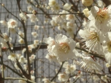 20150311桜2♪