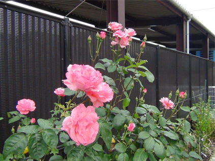 ドッグランのバラが咲きました-1