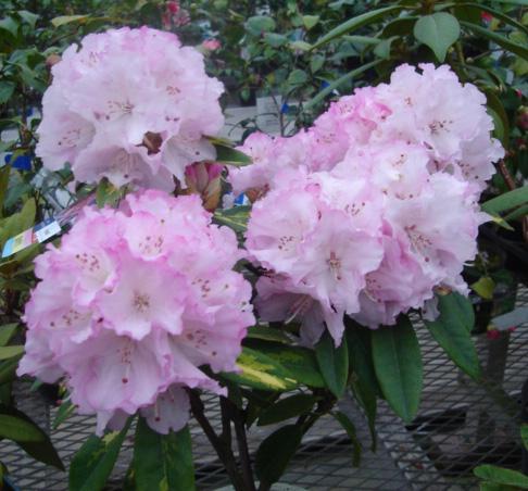 西洋シャクナゲ花かがり