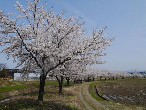 神宮寺の桜s