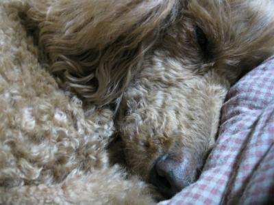 犬の寝顔IMG_5014