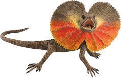 Frill necked Lizard_1