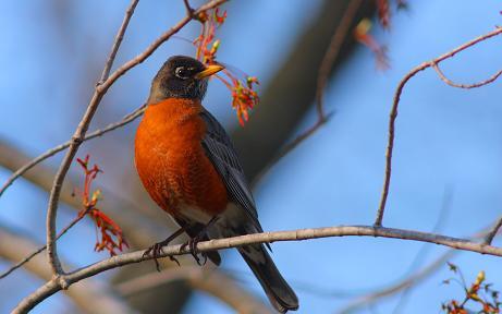 american-robin-bird.jpg