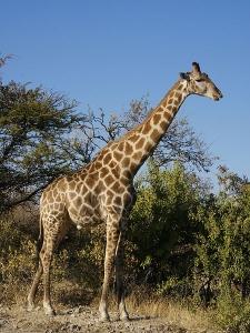 450px-Giraffa_camelopardalis_angolensis.jpg