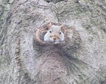 木から顔を出すリス