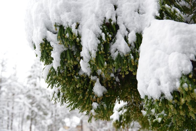 樹に積もる-3