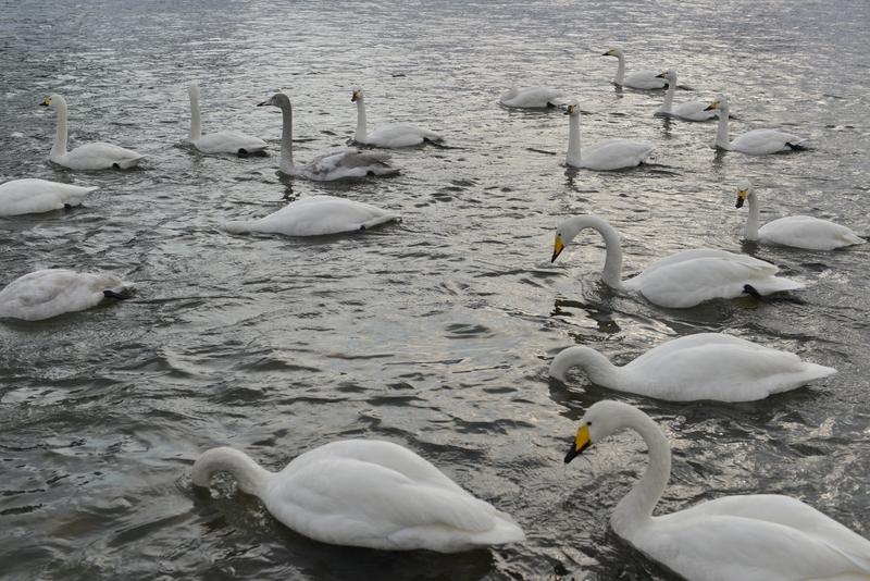 白鳥 たち-1