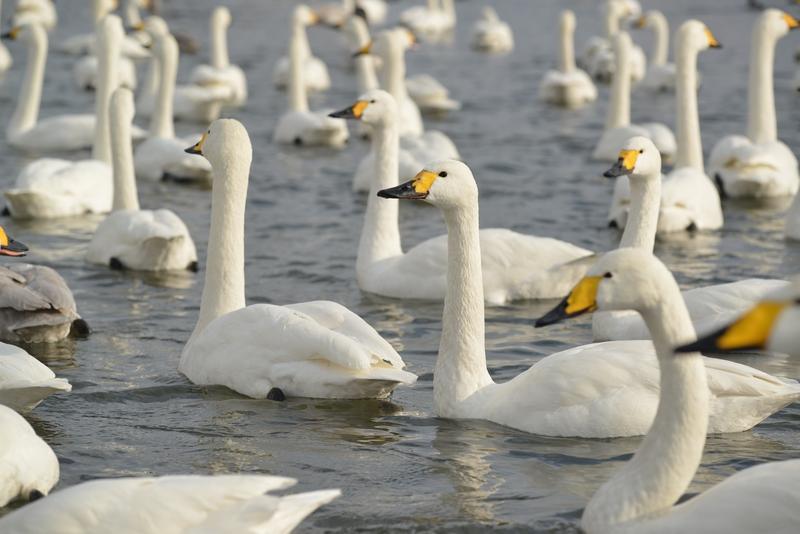 白鳥 たち-2