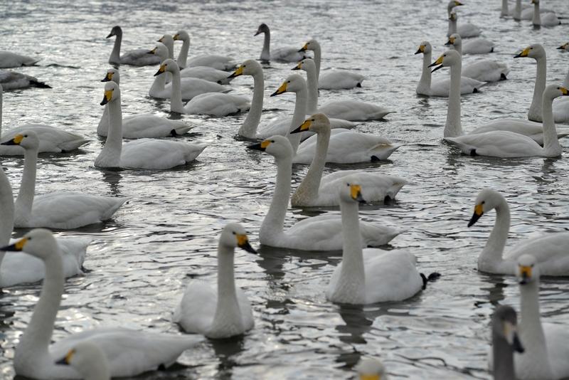白鳥 たち-3