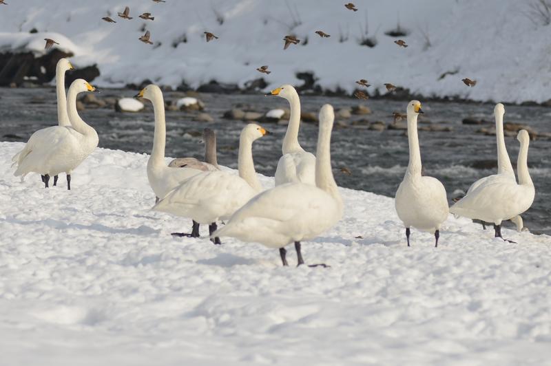 白鳥 たち-4