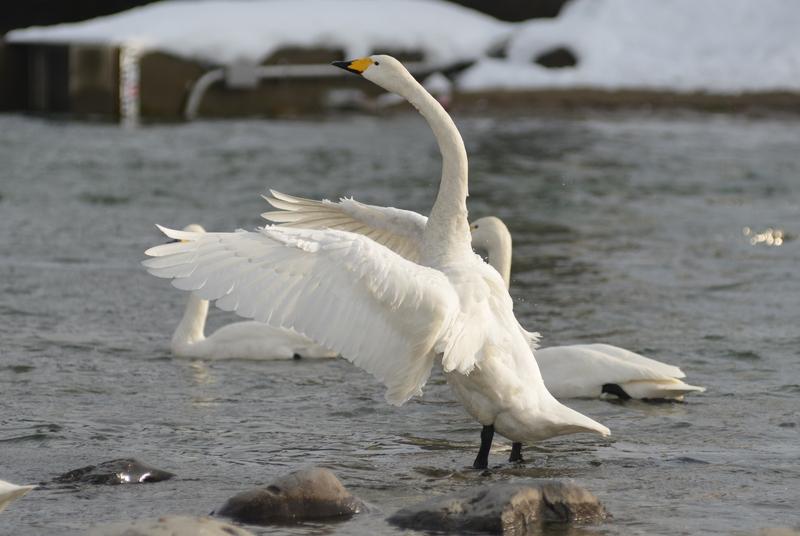 白鳥の舞い-3