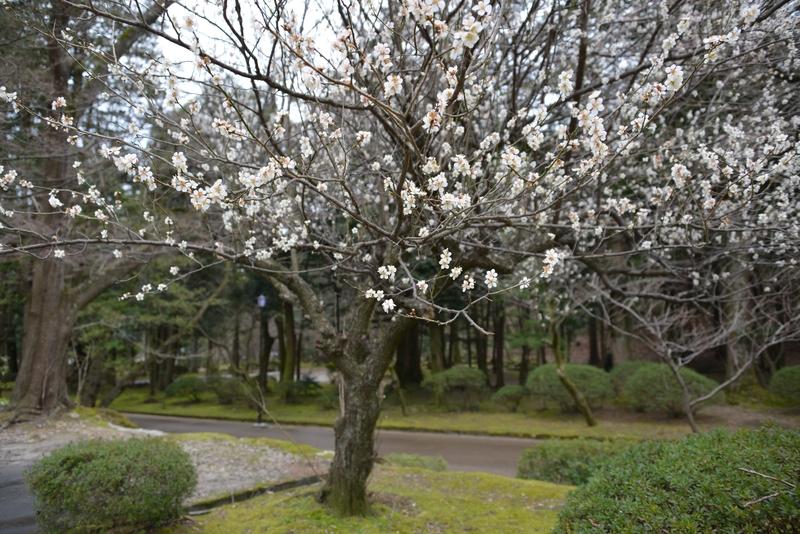 梅と桜-1