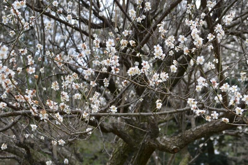 梅と桜-2