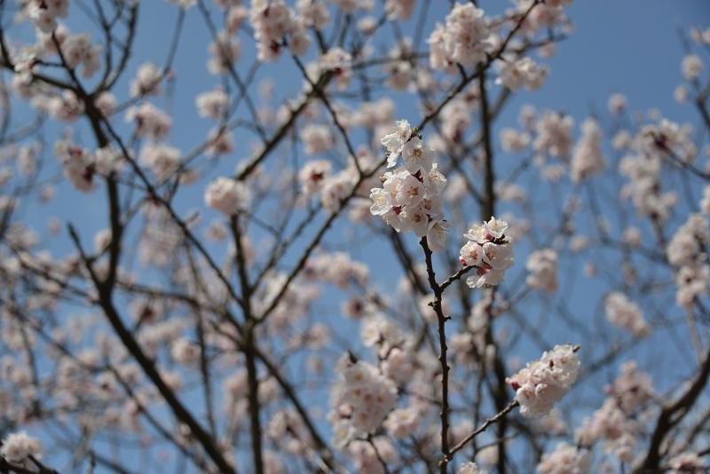 桜と月-1