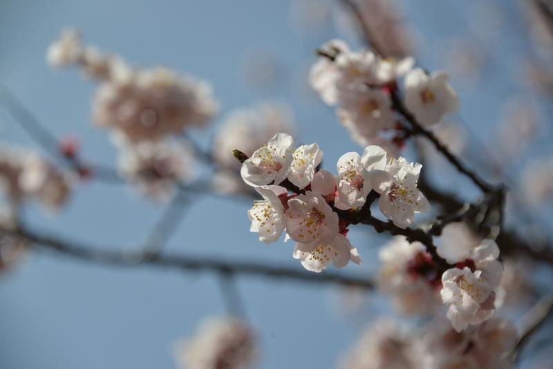 桜と月-2