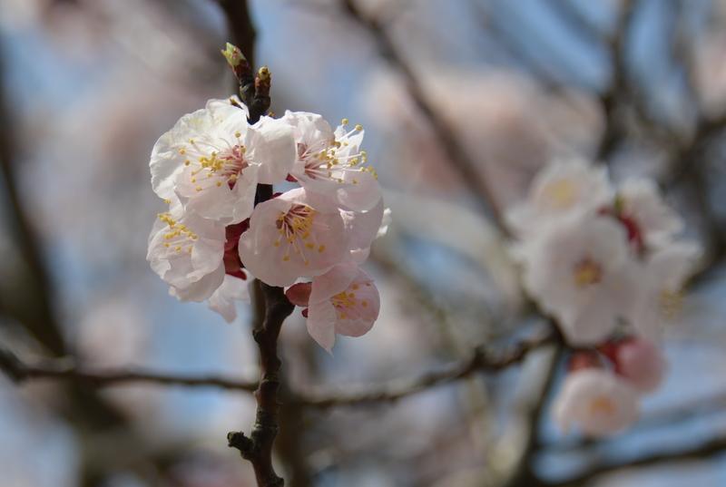 桜と月-3