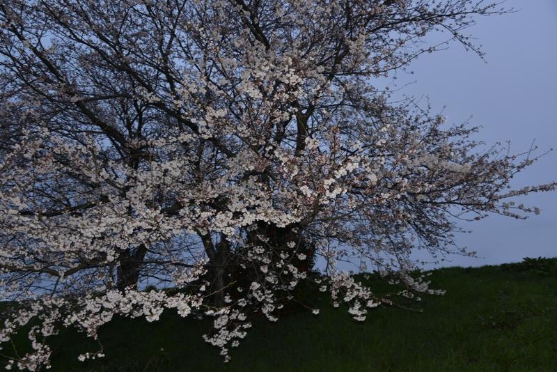 夜桜?-1