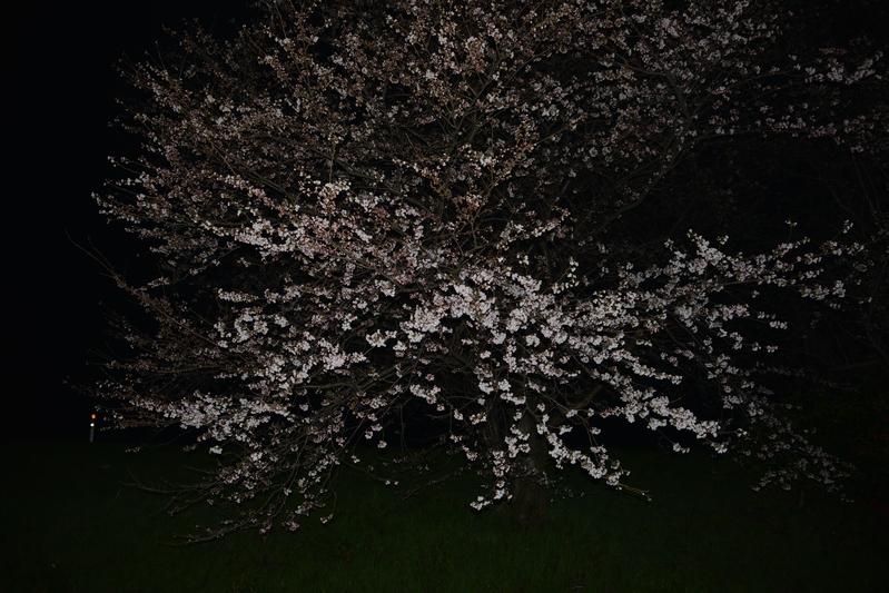 夜桜?-2