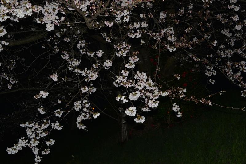 夜桜?-3