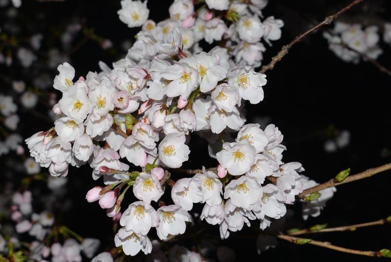 夜桜?-4