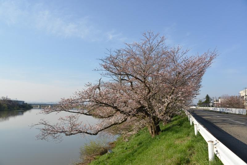 川べりの桜-1