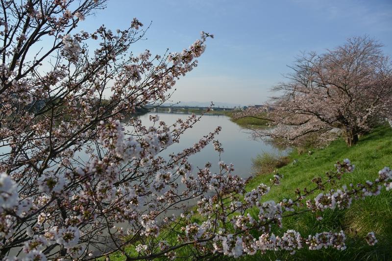 川べりの桜-2