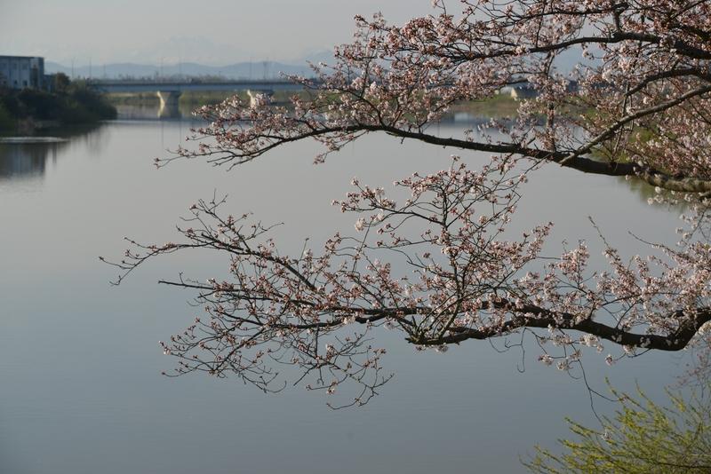 川べりの桜-3