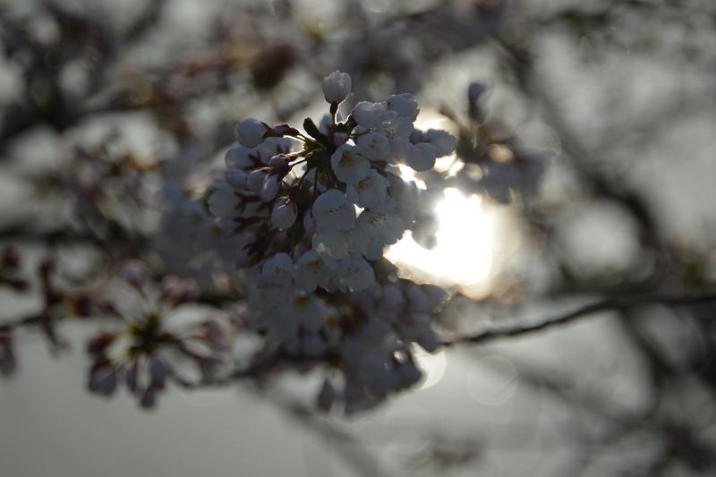川べりの桜-4