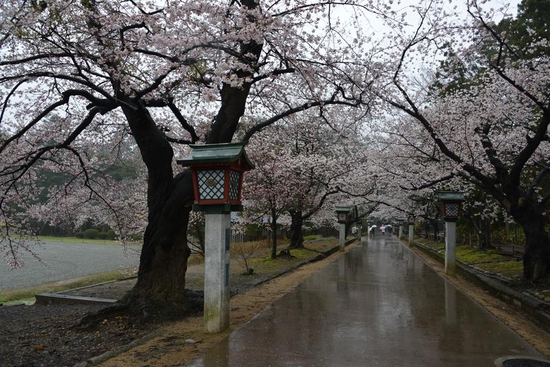 雨の桜-1