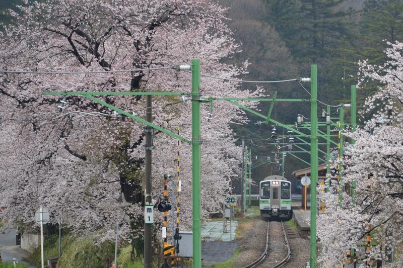 雨の桜-2