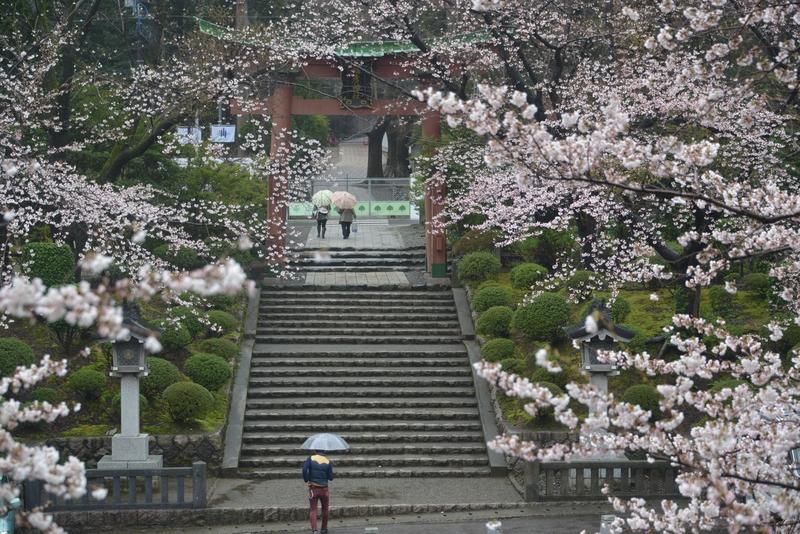 雨の桜-3