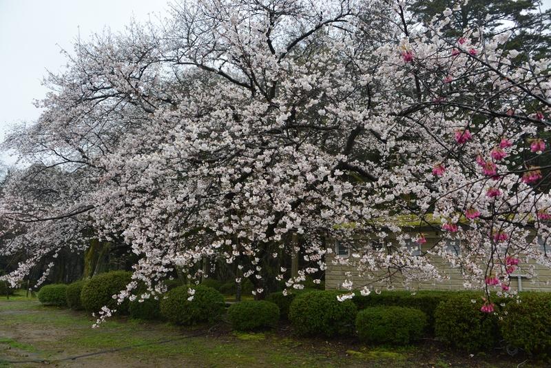 雨の桜-4