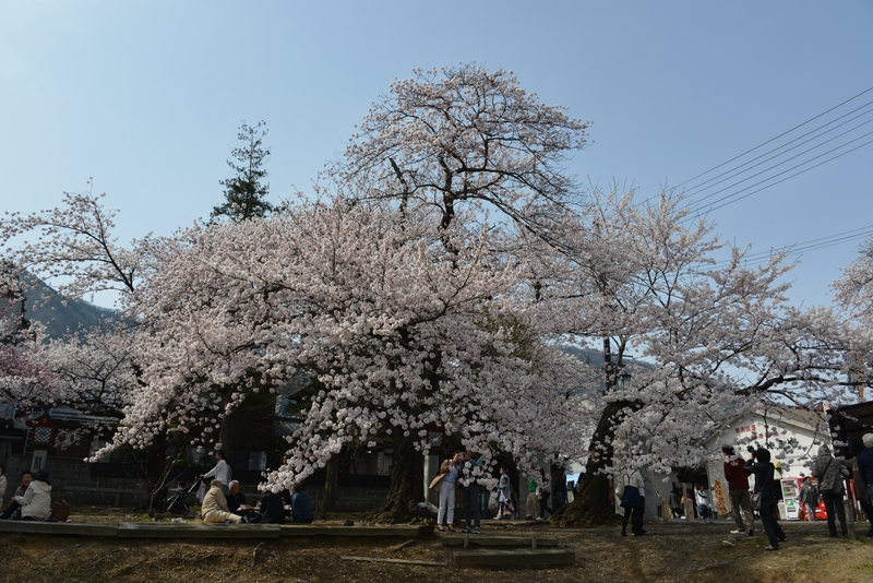 桜 賑わい-2