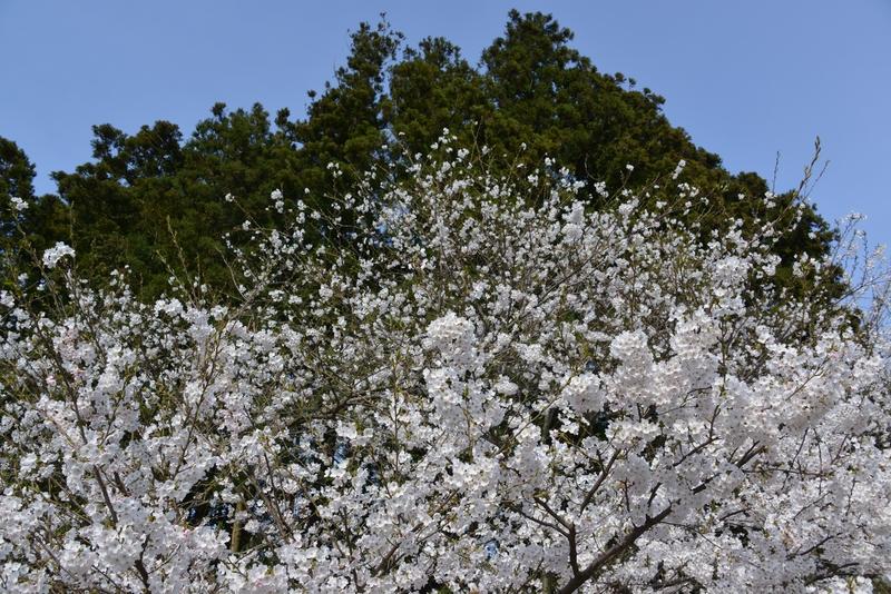 弥彦の桜-1