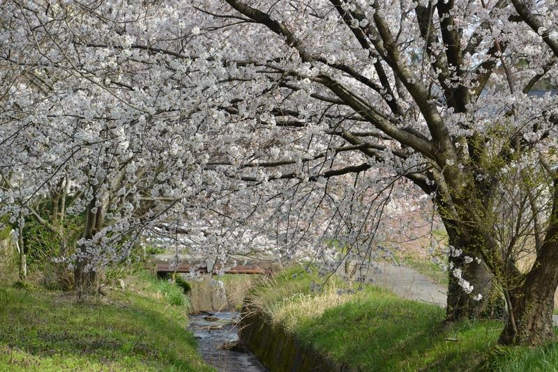 弥彦の桜-2