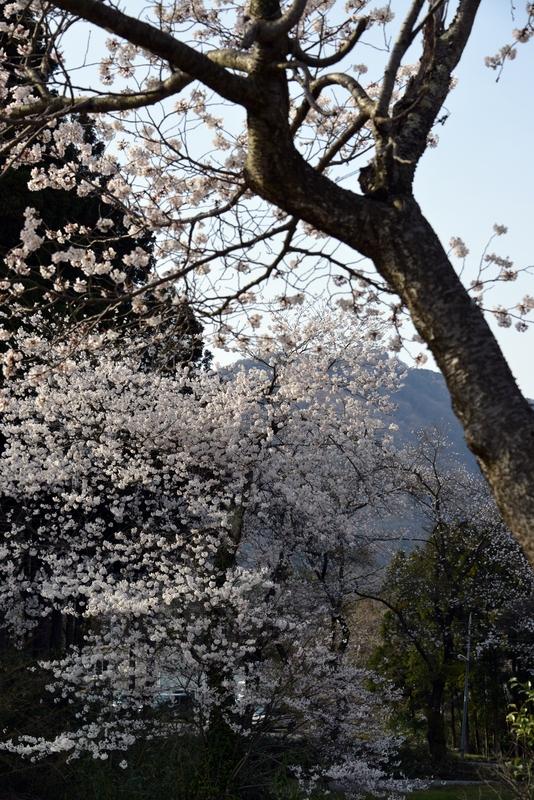 弥彦の桜-3