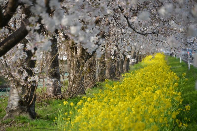 弥彦の桜-4