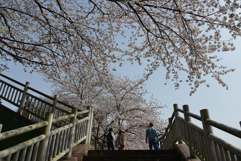 弥彦の桜-5