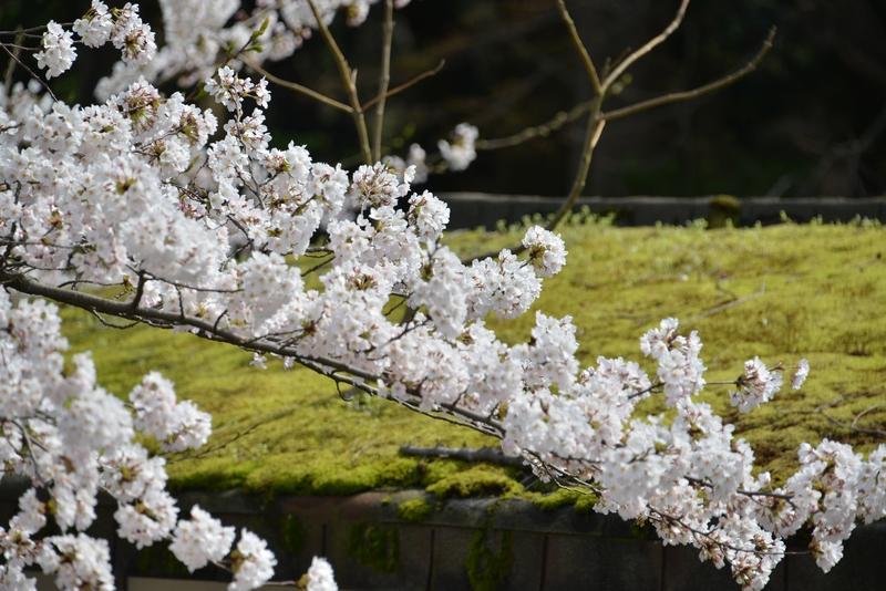 弥彦の桜-6