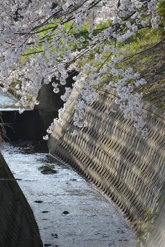 弥彦の桜-7