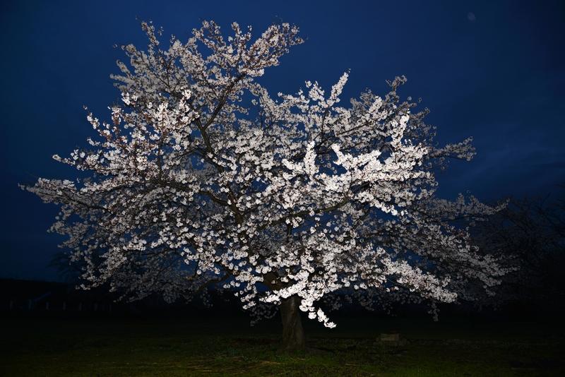 夕暮れ時の桜-2