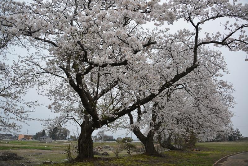 廃校跡の桜-1