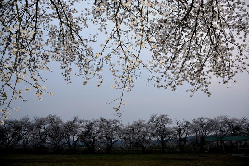 廃校跡の桜-2