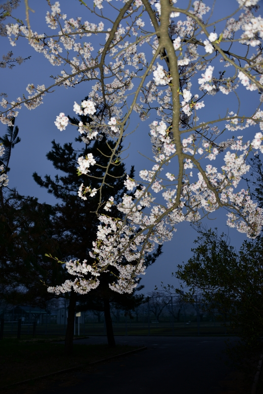 廃校跡の桜-3