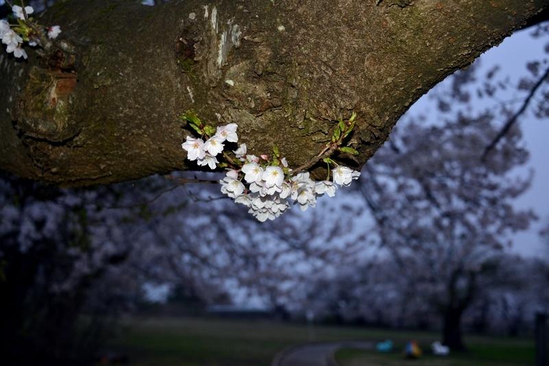 廃校跡の桜-4