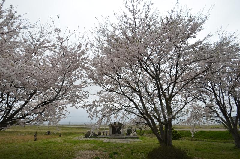 桜 通勤路-3