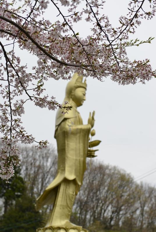 観音寺 桜-1