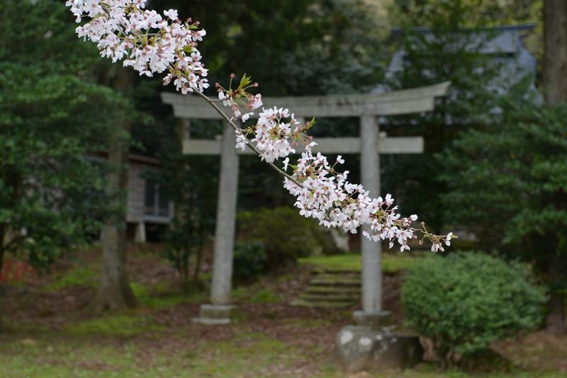 観音寺 桜-2